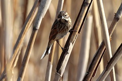 Reed Bunting (carlo612001) Tags: bird birds uccello uccelli animal animals animale animali spring winter swamp marsh fen palude reeds canne cannedipalude reedbunting
