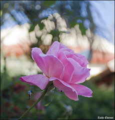 Rose at My-Garden-IZE-079 (Zachi Evenor) Tags: zachievenor israel mygarden garden gardening flower flowers 2017 ישראל גינתי גני גן גינה פרח פרחים פריחה גינון ורד ורדים שושנה שושנים rose roses rosa