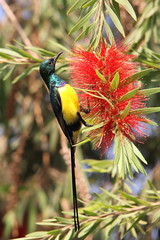 Nile Valley Sunbird, Kings Island, Luxor, Egypt.    {Explore - 18/05/2013 - #11} (Andy_Hartley) Tags: