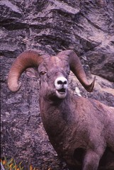 IMG_0040 (Rock Rabbit Photo) Tags: scans sheep horns bighorn rams slides