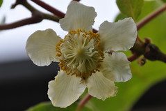 Kiwi flower, female (Actinidia chinensis (kyoshiok) Tags: flower japan female garden kyoto kiwi actinidiachinensis