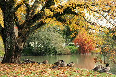 #142/365 - Good day to be a duck (Jaime Carter) Tags: autumn newzealand orange lake cold tree fall leaves birds yellow gold golden hamilton ducks waikato intrepid 365 142 day142 thirdedition project365 waikatouniversity universityofwaikato yearthree 2013 jaimewalsh may2013 jaimecarter 3652013 picmonkey 22may2013