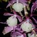 Dendrobium aphyllum – Nico Goosens