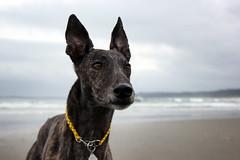 Wonky Nose (d.rizzle) Tags: greyhound beach vancouverisland tofino dolcegambino