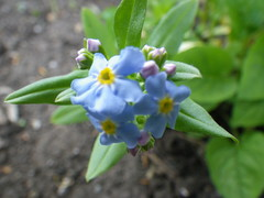 Blue Forget-Me-Not (s.kosoris) Tags: flowers blue flower macro yard garden pentax forgetmenot wg1 skosoris pentaxoptiowg1