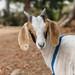 Park goat