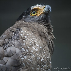 Crested Serpent Eagle (Malaya K Pradhan) Tags: travel portrait bird beautiful birds canon square pretty dof eagle bokeh squareformat malaysia aviary perched kualalumpur birdofprey shallowdepthoffield malaya birdpark shallowdof birdportrait travelphotography crestedserpenteagle klbirdpark kualalumpurbirdpark birdphotography canon500d spilornischeela perchedbird malayapradhan malayakpradhan