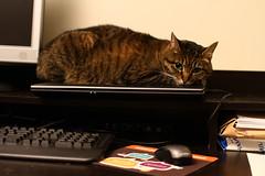 Cat heating pad (waitscm) Tags: chris cat laptop goingawayparty heatingpad