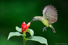 Little Spiderhunter (jzsfotografix) Tags: flower bird singapore feeding flight avian hovering birdinflight bukitbatokpark littlespiderhunter gingerplant