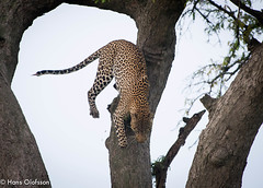 Leopard -  Murchison Falls, National Park, Uganda (Hans Olofsson) Tags: africa nature animal wildlife natur adventure safari leopard afrika uganda ecotourism ecotour pantherapardus murchinsonsfall