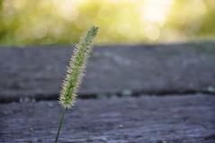 September morning (christiaan_25) Tags: wood light summer sunlight green grass sunshine bench gold one golden stem bokeh dew solo single planks tassel