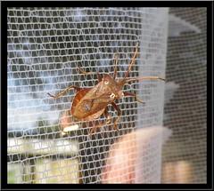 Dock Leaf Bug ? (nexapt101) Tags: bug coventry unidentified dockleafbug