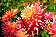 (Like me on facebook! Rebecca L. Iles Photography) Tags: pink dahlia flowers nature nikon cheery bright august dslr nationaltrust latesummer nikond3200 fullbloom angelseyabbey d3200