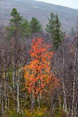Farbtupfer - HDR (bohnengarten) Tags: park lake fall suomi finland eos see nationalpark finnland forrest lappland herbst skandinavien national wald hdr pallas kansallispuisto kittil 50d raattama vuontisjrvi yllstunturin