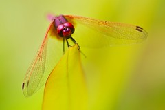 On Dragonfly Wings (Anna Kwa) Tags: dragonfly trithemisaurora crimsonmarshglider libellulidae macro dof bokeh light art annakwa nikon d90 afsvrmicronikkor105mmf28gifed my fly wings always soul heart spirits eternally free invincible nicovinz imagine memories remembrance