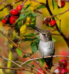 Good Morning Bird. (Omygodtom) Tags: park autumn wild green bird art fall nature leaves leaf berry nikon bokeh existinglight tamron tamron90mm anashummingbird d7000
