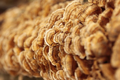 On and On and On 11022013 (Orange Barn) Tags: autumn tree rust fungi growth fungus starvedrock uticaillinois starvedrockstatepark rustcolored illinoisdepartmentofnaturalresources illinoisstateparks 365daysincolour