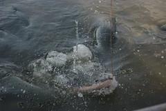 Feeding the Arapaima (jlarsen2006) Tags: park food fish water garden botanical thailand mackerel asia large resort tropical tuna gigantic chon buri pattaya arapaima nooch nong