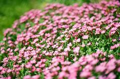 Rock Cress (MHO Photography) Tags: pink flowers summer macro rock canon eos is purple kodak bokeh cress 100mm l 100 28 500 ef ektar f28l