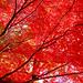 Autumn Leaves of Japanese Maple / 紅葉