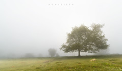 Encuentros en la niebla (Ahio) Tags: light summer mist tree fog zeiss landscape oak quercus nikon asturias paisaje niebla 15mm roble zf2 distagont2815 colladafumarea d800e