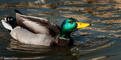 nade real (Ignacio Ferre) Tags: bird duck ave pato mallar