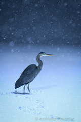 Lost in the Storm (anthony_franklin923) Tags: blue winter ohio snow bird heron nature animal franklin nikon wildlife great snowstorm ardea anthony herodias 70300 ohioan d3100