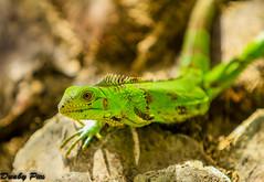 Iguana - Curacao Dutch Antilles (Dunby PICS) Tags: hot netherlands dutch landscape photo flickr reptile pic lizard iguana curacao caribbean willemstad antilles