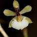 Ornithophora radicans – Nico Goosens