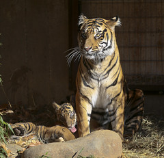SAS_2370 (SSipple) Tags: animals tigers nationalzoo sumatrantiger tigercubs animalbabies smithsoniannationalzoo