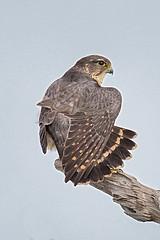 Merlin Feathers (MyKeyC) Tags: bird nature birds hawk merlin falcon birdofprey merlinfanningtail aaacolbirds