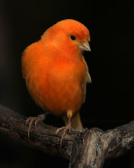 The Little Orange Charmer (J Bespoy Photography) Tags: portrait orange canada cute male bird closeup vancouver pretty bc song britishcolumbia small canary captive bloedelconservatory tc14eii coth supershot ©allrightsreserved abigfave coth5 nikkor70200f28vrii blinkagain