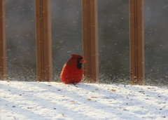 Wind Gust (Jeanne W Pics) Tags: winter red bird minnesota birds canon midwest cardinal wind windy twincities canonrebelt3i