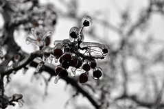 (khoosh) Tags: winter canada cold tree clouds frozen cherries frost frozenrain khashayar