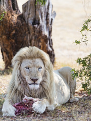 White lion with meat