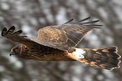 Female Harrier (Paridae) Tags: birdsofprey harrier birdsofbritishcolumbia harrierinflight femaleharrier birdsofboundarybay