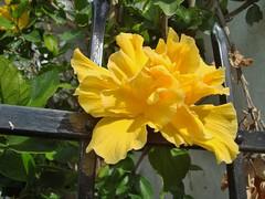 DSC07764 Hibisco / Rosa China / Hibiscus / Chinese Rose( Hibiscus Rosa-sinensis ) (marialuz_fernandez) Tags: flower yellow sony flor amarillo hibiscus hibisco rosasinensis rosachina dscw125