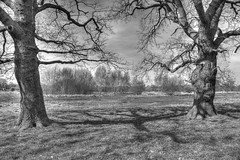 Two Old Friends (ArtGordon1) Tags: uk trees england blackandwhite london eppingforest blackwhite oak oaktree oaktrees walthamforest oldtrees davegordon davidgordon artgordon1 daveartgordon daveagordon davidagordon