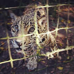 Met a kitty today. #belize #leopard #cat #jungle #zoo (Dmitry Gudkov) Tags: square squareformat rise iphoneography instagramapp uploaded:by=instagram