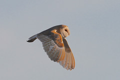 Barn owl (Chiv3) Tags: barn owl