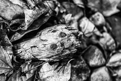 DSC_0060-Edit.jpg (shadowxtravis) Tags: wood blackandwhite bw macro nature leaves leaf interesting stick 500px travisstewartphotography