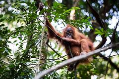 Ratna 4812 (Ursula in Aus) Tags: animal sumatra indonesia unesco orangutan ape greatape bukitlawang gunungleusernationalpark earthasia