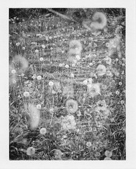 [2014_05_22] Dandelion Double Exposure Abstract (Shaun Nelson) Tags: flowers blackandwhite bw abstract film utah blackwhite ut weeds doubleexposure dandelion fujifilm ogden landcamera filmphotography polaroidlandcamera250 fp3000b polaroidinstant land250 landcamera250 wwwshaunnelsonphotographycom shaunnelsonphotography
