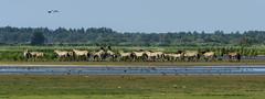 Born to be wild  [Explored] Panorama (John de Grooth) Tags: wild ngc explore npc groningen friesland borntobewild lauwersmeer hengst konikpaarden explored konikpaard hengstig