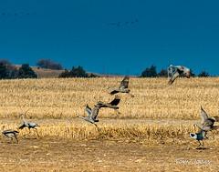 Sandhill Cranes_Flight_2-1 (Tom Jodis) Tags: field flight sandhillcranes nebraska migration