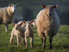 Spring Morning (Getty listed) (Alan10eden) Tags: sheep ewe lambs morning early crossbred baby spring field agriculture farming farmer grass outdoors natural ovine wool freerange canon 80d 70200is f40 ulster northernireland alanhopps markethill countyarmagh livestock animals farm