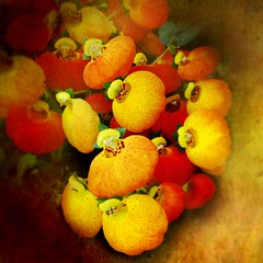 Calceolaria (Jean Turner Cain) Tags: flower flora floral flowers fleur nature red yellow jeanturnercain texture textured textures art adobe