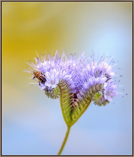 Phacelia for lunch