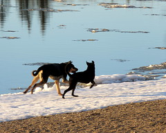 Exercise (diffuse) Tags: dog pals friends romp run playing running ice snow river vanderhoof nechakoriver spring action bounding