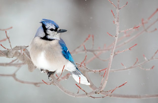 Blue Jay on a snowy day.